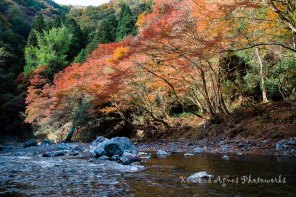 Koyo Along the Banks Of The Kiyotakigawa River