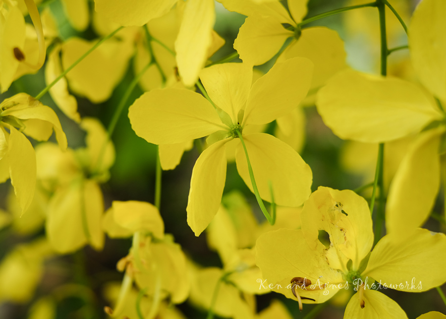 Golden Shower Tree Flowers 1