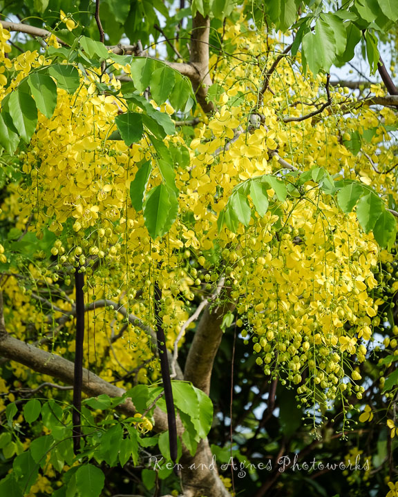 Clusters Of Golden Shower Tree Flowers and Fruit Pods