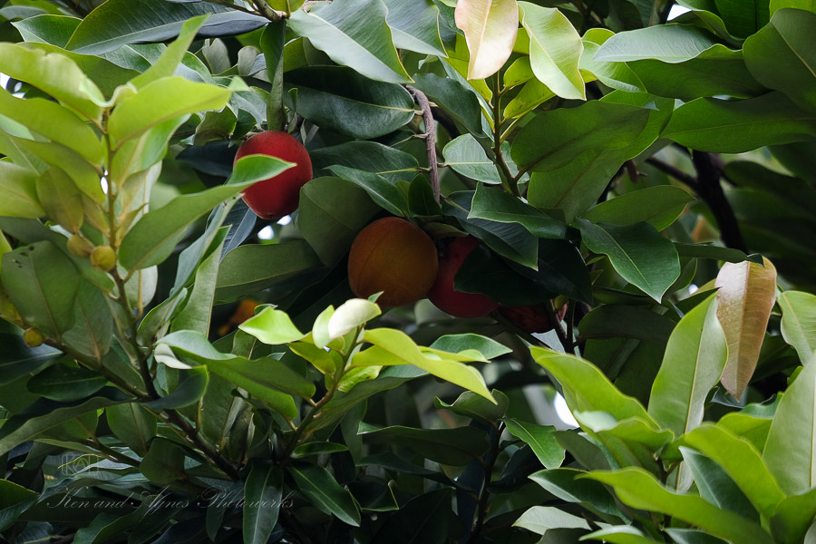 Cluster Of Butter Fruit On The Tree